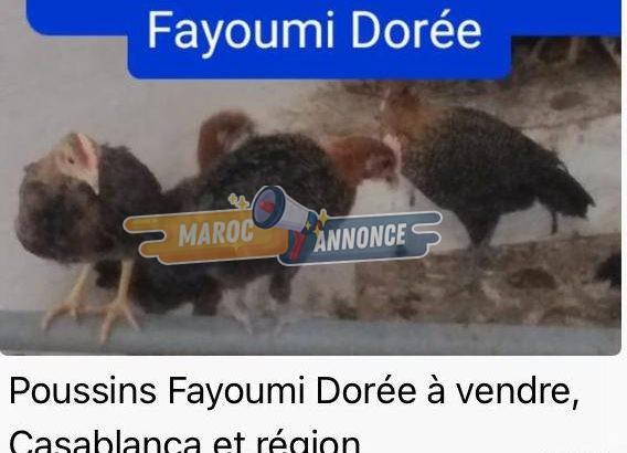 POUSSINS FAYOUMI DORÉE