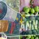 Anticiper la récolte des olives est très simple